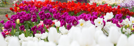 Colorful tulips with water drops Royalty Free Stock Photos