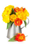 Colorful tulips in watering can Royalty Free Stock Image
