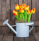 Colorful Tulips in a Watering Can Stock Image