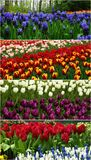 Colorful Tulips Web Header / Banner set. Set of four header images of beautiful colorful tulips flower on field at botanical garden, Netherlands Royalty Free Stock Images
