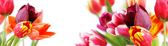 Colorful tulips on white background Stock Photos