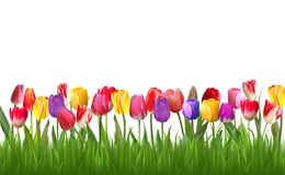 Colorful tulips on white background Royalty Free Stock Photos