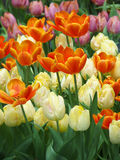 Colorful tulips. White, orange and pink Royalty Free Stock Photos