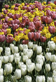 Colorful Tulips. White, yellow and purple tulips make an attractive setting in Albany, New York's Washington Park Royalty Free Stock Photo