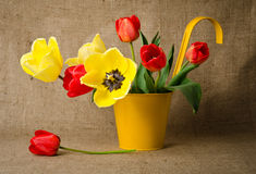 Colorful tulips in yellow pot Royalty Free Stock Image