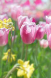 Colorful tulps and daffodils in spring, blurred background Stock Images