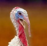 Colorful turkey portrait Stock Photo