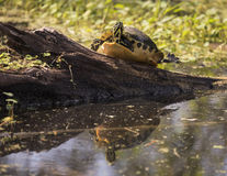 Colorful Turtle Reflects at Circle B Bar Reserve Royalty Free Stock Images