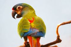Colorful twittering maracana parrot primolius maracana in back view perching on a branch in front of a gray background Stock Photo
