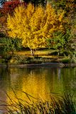Fall colors at UC Davis California royalty free stock photography
