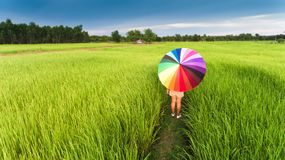 Colorful umbrella in the green rice field. royalty free stock photos
