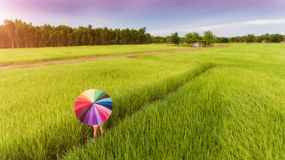 Colorful umbrella in the green rice field. royalty free stock images