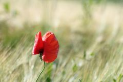 Colorful uncultivated poppy. ( papaver ) growing in the summer field Royalty Free Stock Image