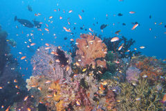 Colorful underwater landscape reef of Raja Ampat Papua Stock Image