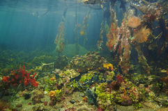 Colorful underwater marine life in the mangrove Royalty Free Stock Photo