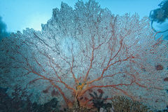 The colorful underwater realms of Raja Ampat, Papua Indonesia. Giant red Gorgonia coral in Raja Ampat, Papua Indonesia stock photo