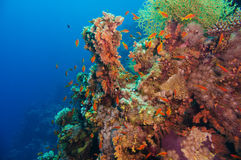 Colorful underwater reef with coral and sponges Royalty Free Stock Photo
