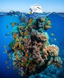 Colorful underwater reef with coral and sponges Royalty Free Stock Image