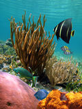 Colorful underwater scene. In the caribbean sea, Cozumel, Mexico Royalty Free Stock Photography