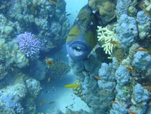 Colorful underwater world of the Red sea. Triggerfish on the coral reef stock images