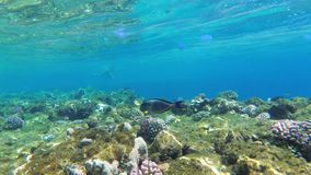 Colorful Underwater world in Red Sea with Tropical Fish, Jellyfish near Coral reef. Egypt