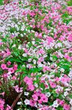 Colorful urban flowers. Beautiful pink petunias stock image