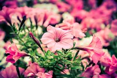 Colorful urban flowers. Beautiful pink petunias in shallow depth of field royalty free stock photography