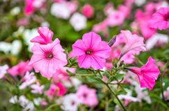 Colorful urban flowers. Beautiful pink petunias in shallow depth of field royalty free stock images