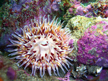 Colorful Urticina mcpeaki Anemone. Urticina mcpeaki Anemone found at Gull Island, central California Stock Photos