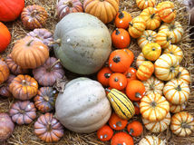 Colorful variation of pumpkins. Different kinds of colorful pumpkins lying on display Stock Image