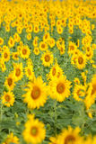Colorful and vast sunflowers field Royalty Free Stock Photo