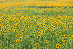 Colorful and vast sunflowers field Stock Photo