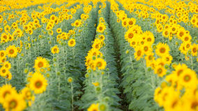 Colorful and vast sunflowers field Stock Image