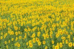 Colorful and vast sunflowers field Royalty Free Stock Image