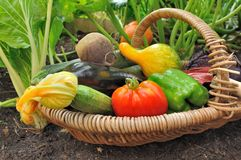 Colorful vegetables in basket. Fresh colorful  vegetables in a basket in garden Royalty Free Stock Photo