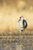 Colorful vertical image of sandhill crane Royalty Free Stock Image