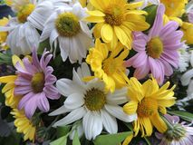 Colorful and vibrant daisies. Colorful and vibrant white, pink and yellow daisies in a lovely garden stock photography