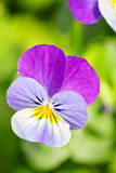Colorful and vibrant pansy, pansies flower Royalty Free Stock Photos