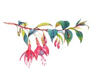 Colorful vibrant pink fuchsia branch. Hand-drawn watercolor floral illustration of the colorful vibrant pink fuchsia branch. Tropical exotic flowers blossom Vector Illustration