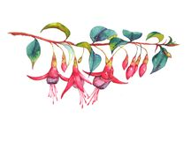 Colorful vibrant pink fuchsia branch. Hand-drawn watercolor floral illustration of the colorful vibrant pink fuchsia branch. Tropical exotic flowers blossom Stock Illustration