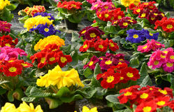 Colorful vibrant selection of spring primroses Stock Photography