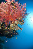 Colorful and vibrant tropical soft coral reef. Stock Photos