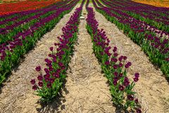 Beautiful Tulip Field Scenic Landscape Spring Background With Colorful tulips stock image