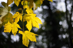 Colorful vibrant yellow foliage in the autumn park Stock Image