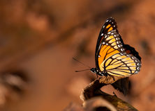 Colorful Viceroy butterfly Royalty Free Stock Images