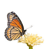 Colorful Viceroy butterfly feeding Stock Image