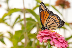Colorful Viceroy feeding on a pink flower royalty free stock photography