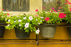 Colorful Vinca Flower in pots Royalty Free Stock Photography