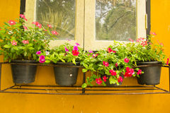 Colorful Vinca Flower in pots Stock Images
