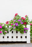 Colorful Vinca Flowers. Royalty Free Stock Photography